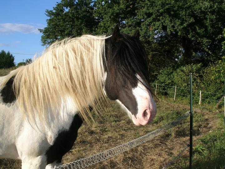 Tinker stallion